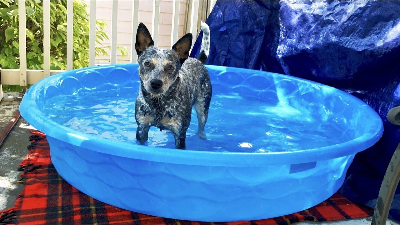 Magnificent Mini Blue Heeler Wonder Dog