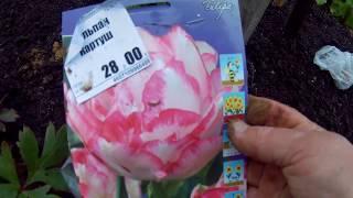 посадка тюльпанов крокусов и пушкинии дача под Архангельском