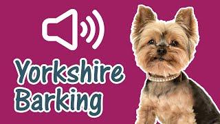 Yorkshire Terrier Dog Barking Sound Effect [ Yorkie ]