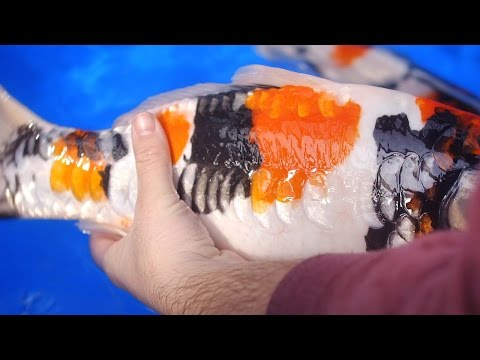 Koi Carp Without Scales - 2 Of 2