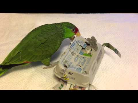 Trash toys with Violet, the Red Crowned Amazon Parrot