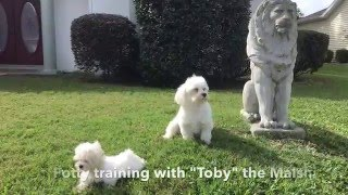 How to potty train your puppy quickly - watch Toby the Malshi - Michelines Pups
