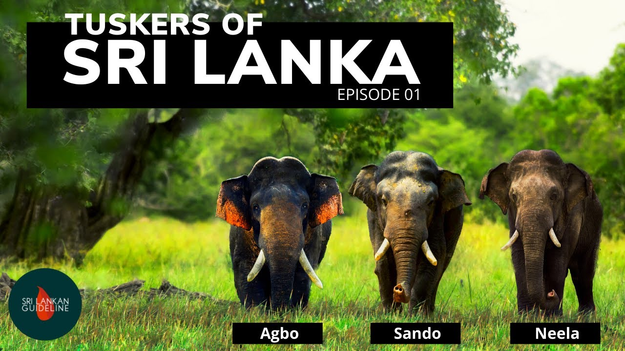 Tuskers of Sri Lanka Episode - 01 | Story of Sando, Neela,and Agbo