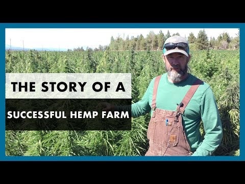 How to grow hemp - Our successful industrial hemp harvest for CBD oil