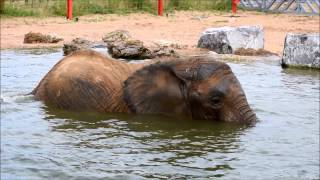 Janu the elephant enjoys first dip in pool at Noah's Ark Zoo Farm
