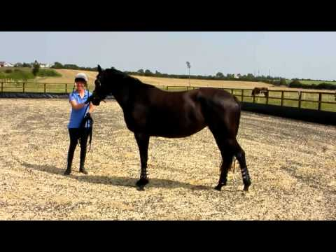 Soraya 3yo Trakehner by EH King Arthur with Tina Atkins for her 1st Lunge Lesson Part 2