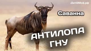 Антилопа Гну. Энциклопедия для детей про животных. Саванна