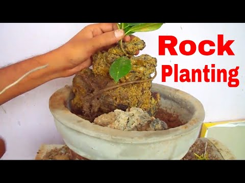 आप भी उगाये पत्थर पर बोन्साई /How to Grow Ficus on Rock for Beginners - 13 Aug 2017/Mammal Bonsai - 동영상