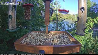 Male and Female Downy Woodpeckers Share Suet – Sept. 20, 2017