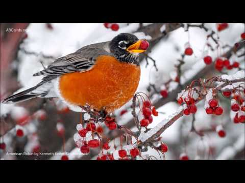 American Robin Song