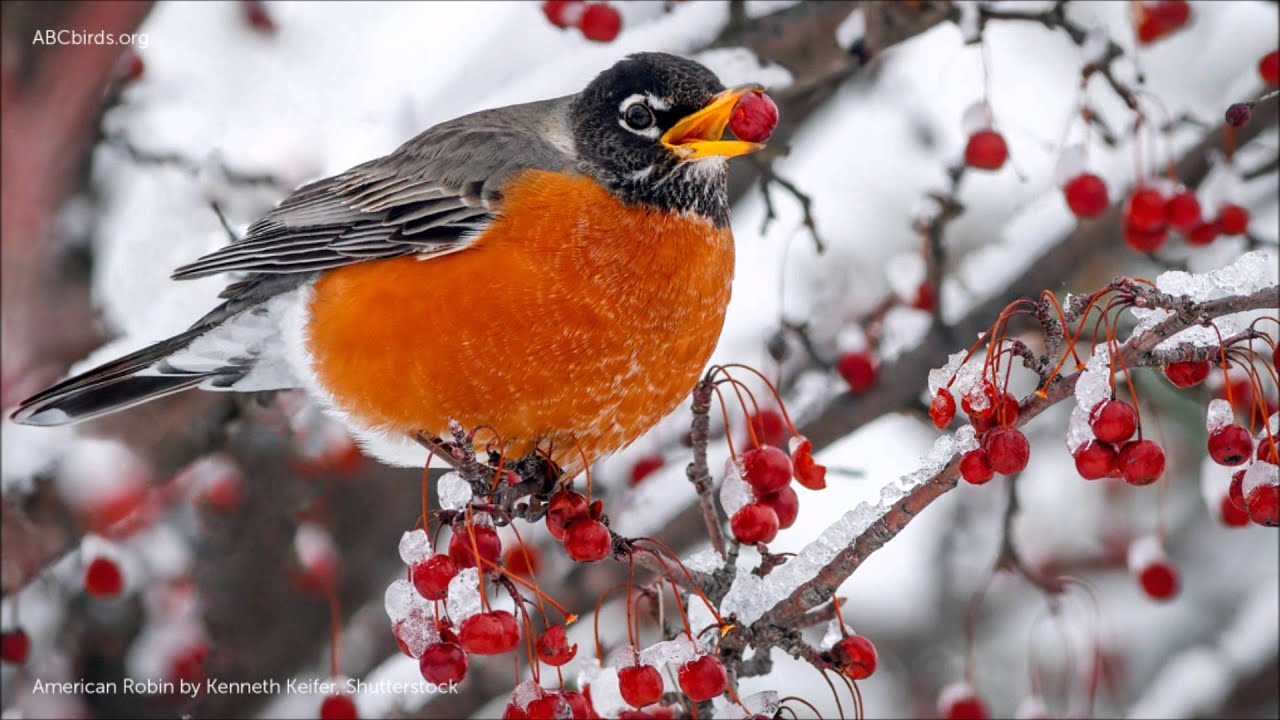Image result for american robin