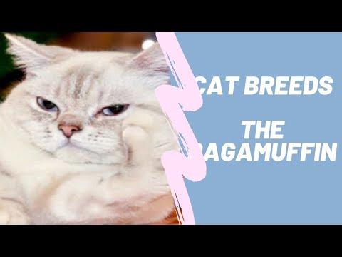 RAGAMUFFIN  CAT BREEDS