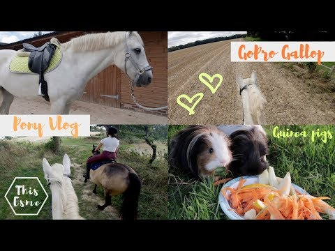 Vlog   Galloping Ponies and Guineapigs   This Esme