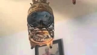 Video Perkutut Lover Wajib Tonton, Suara Burung Perkutut Bangkok Bagus Sekali download MP3, 3GP, MP4, WEBM, AVI, FLV Agustus 2018