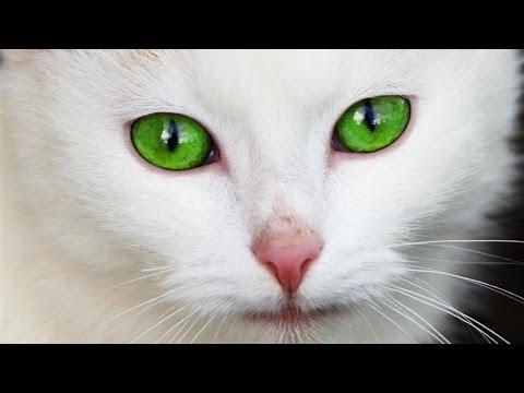 Annonce chat Casablanca-Settat Maroc - GoldAnnonces #animaux