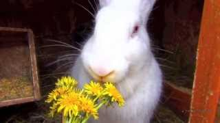 Красивый кролик Белый Великан кушает одуванчики(Прикольное видео - кормление кролика породы Белый Великан, кролик кушает одуванчики с большим аппетитом...., 2013-04-21T00:48:31.000Z)