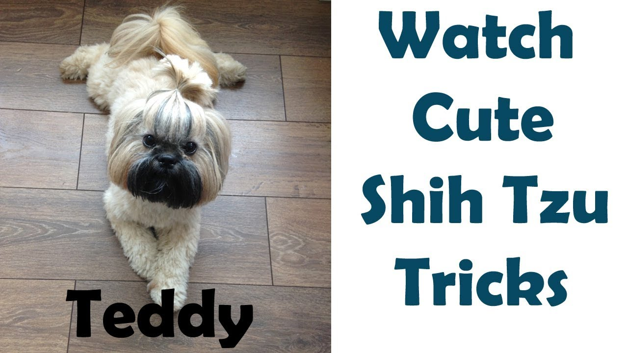 Shih Tzu Training: Trick to Calm a Fear - OMST
