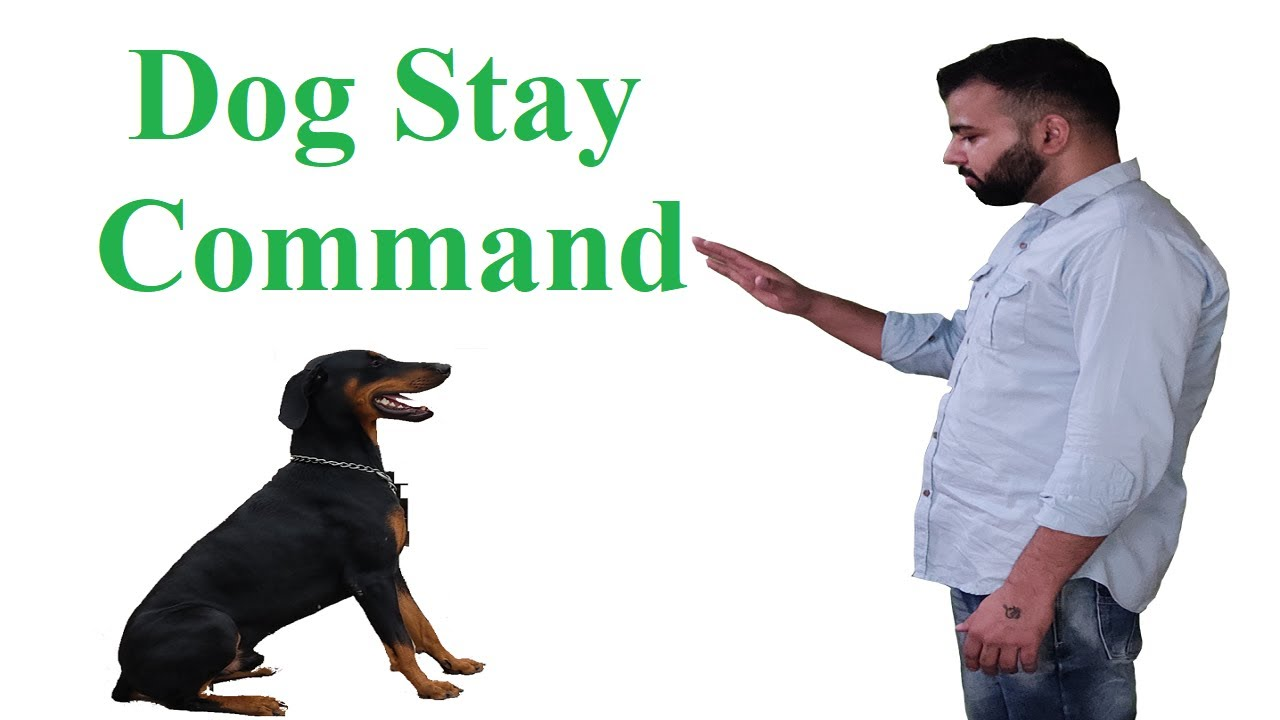 Dog Stay Command | Dog Training | Indian Dog Squad | Doberman Pincher