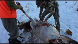 Gutless Field Dressing an Elk with JAY SCOTT OUTDOORS part 1