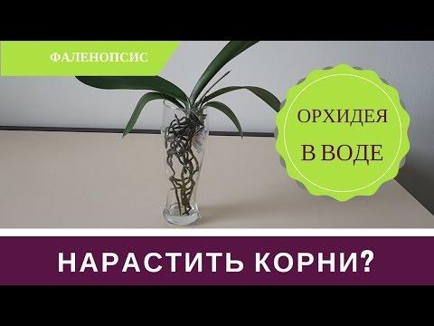 Как Нарастить Корни Орхиде: Орхидея в Воде Супстя 2 месяца