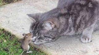 Кот играет с мышкой.Роз убийца мышей.The cat plays with a mouse myshkoy.Roz killer.