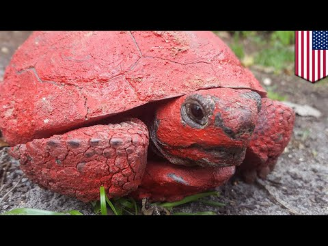 Florida tortoise found covered in red paint - TomoNews