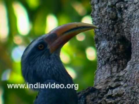 Malabar Grey Hornbill or Ocyceros griseus