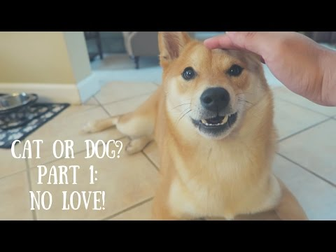 Shiba Inu: Cat or Dog? Part 1: NO LOVE!