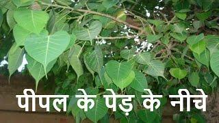 रात में पीपल के पेड़ के नीचे नहीं सोना चाहिए क्यों ? ऐसा क्या है जाने ? gharelu upay