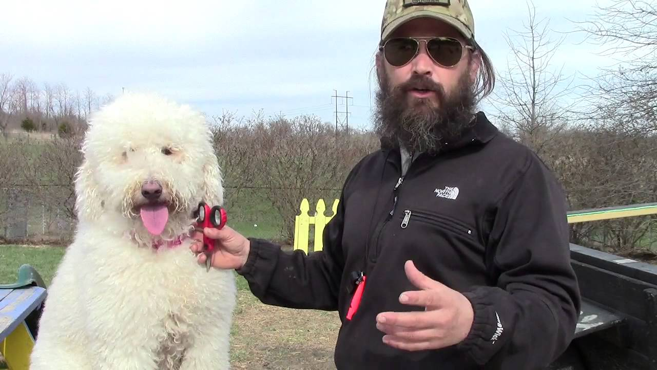 Goldendoodle Eye Maintenance Youtube