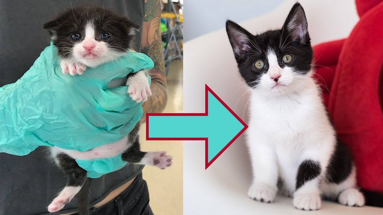 Swimmer Syndrome In Young Kittens Kitten Lady
