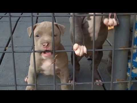 Quarantine pitbull puppies