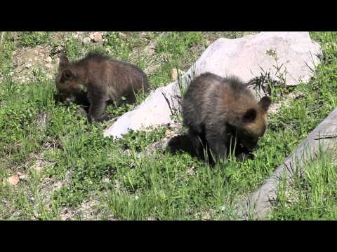 Yellowstone Grizzly Bear Cubs