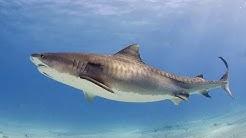 Der Tigerhai - Jäger in der Karibik Dokumentation