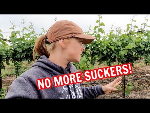 FINALLY Suckering The Vineyard!!