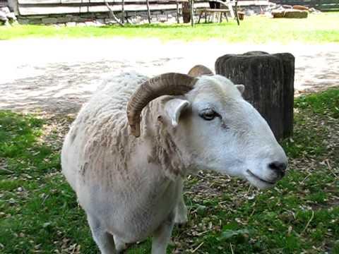 Sheep Bleat - YouTube
