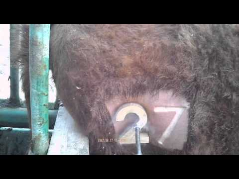 Freeze Branding Heifers