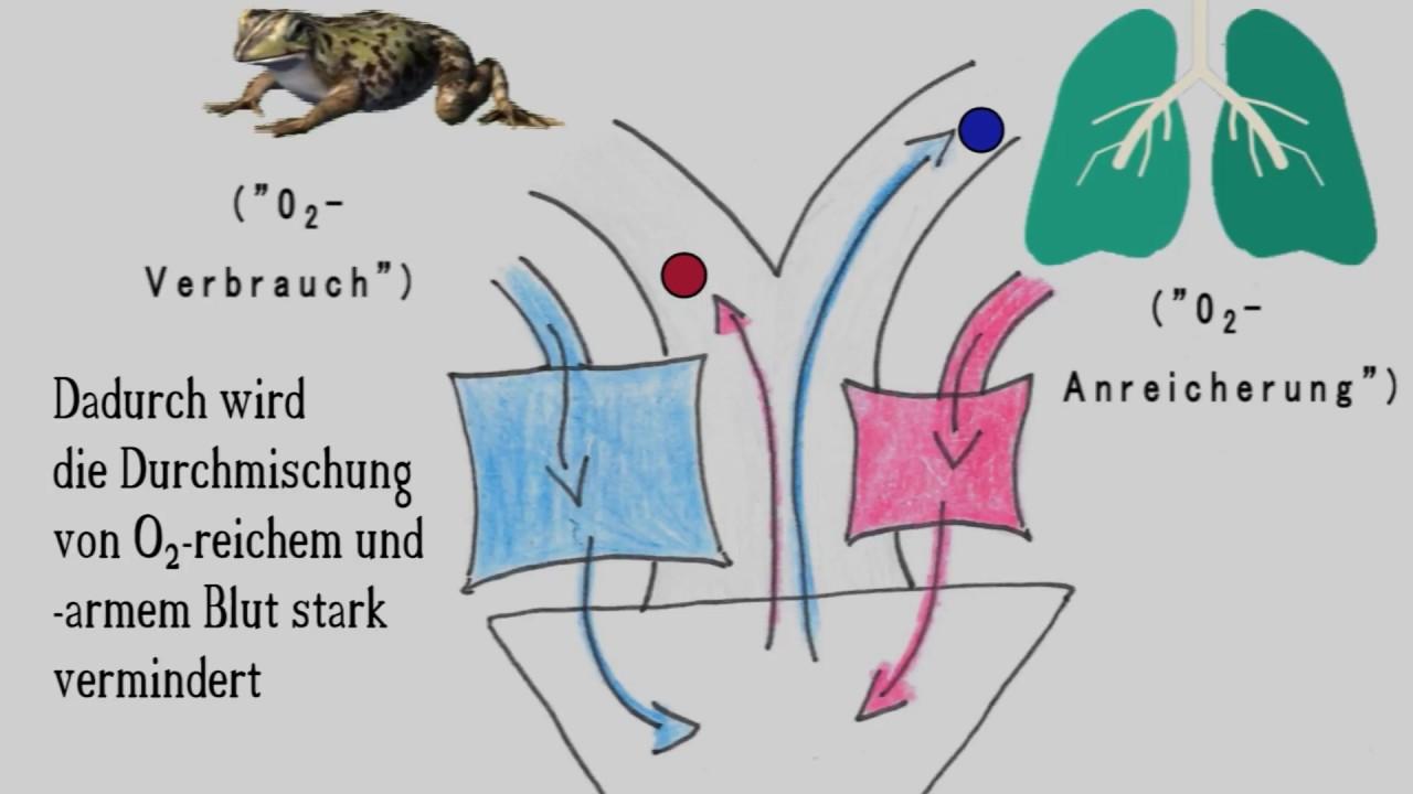 Amphibien Herz - Funktion - Grundaufbau - Zusammenfassung - YouTube