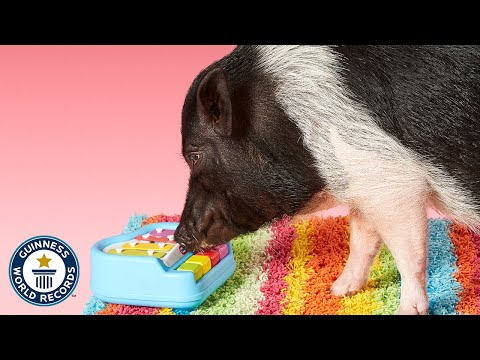 Most tricks by a pig | Joy - Meet The Record Breakers