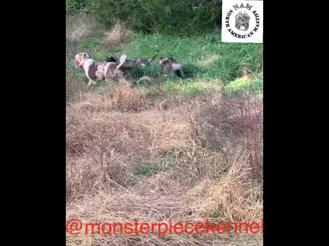 North American Mastiff 1 Year Old Dogs Playing