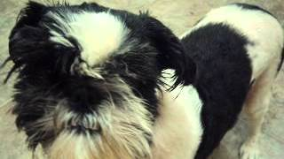 Meet Billy Jo A Shih Tzu Currently Available For Adoption At Petango.com! 8/24/2014 11:11:36 Am