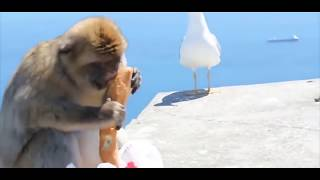 Download Video View Deadliest | Monkey Meeting Tourist - Most Amazing Wild Animal Attacks Funny Videos - Try Not T MP3 3GP MP4