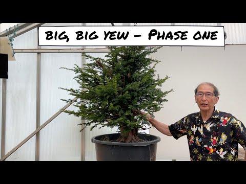 Big Big Yew