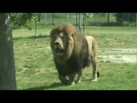 FACING A MUSCULAR 300 KG LION!!! ( Panthera) - YouTube