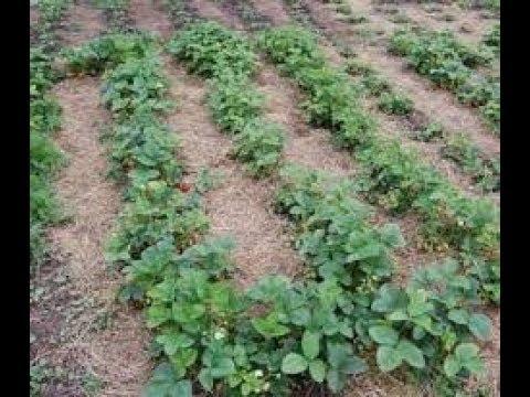 Чем удобрять клубнику в конце августа
