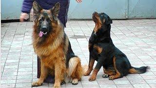 Супер собаки - Немецкая овчарка и ротвейлер. Amazing dogs are German Shepherd and Rottweiler.