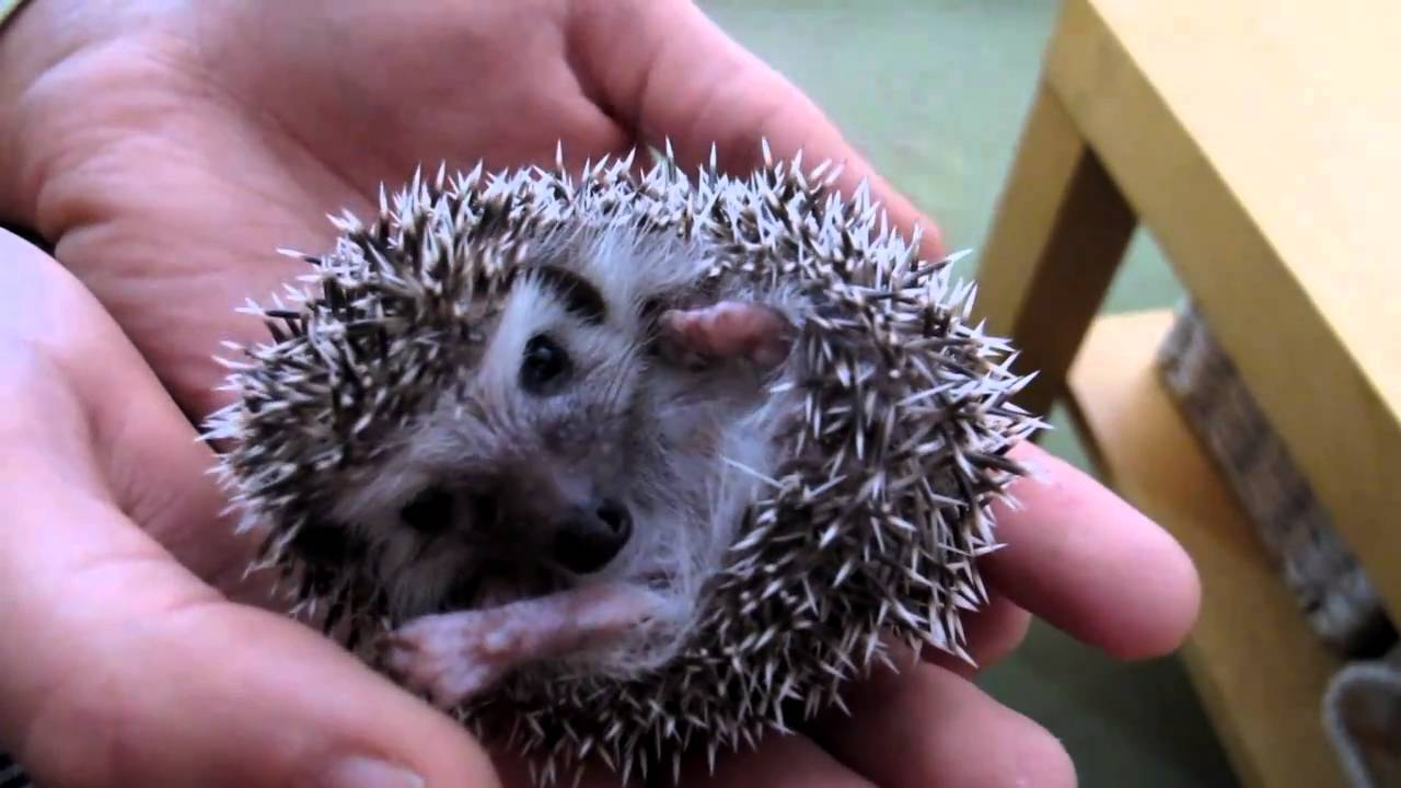 The Gallery For Gt Too Cute Baby Hedgehog
