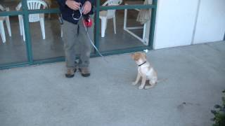 Dog Training For Owners - Young Puppy Training With 10.5 Week Labrador Retriever