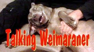 Talking Weimaraner Dog Says I Love You