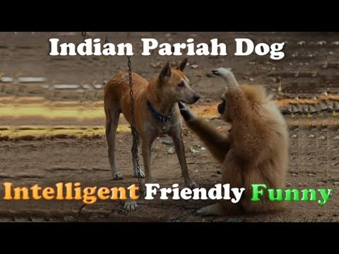 Desi Pariah dog (Intelligent, Friendly and Funny dogs)